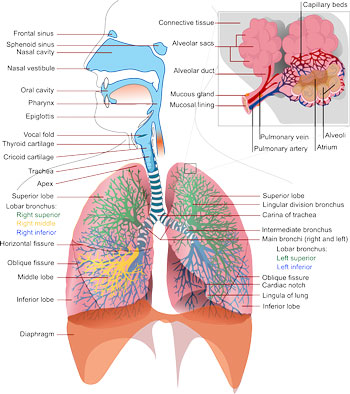 Capacity of the lungs