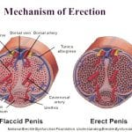 Long Lasting Erections