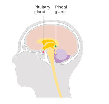 Pituitary glands HGH